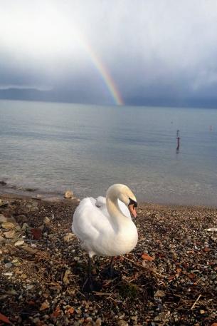 Swan at Lake Ohrid